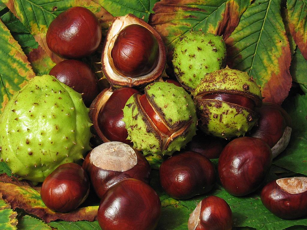 Aesculus_hippocastanum_fruit